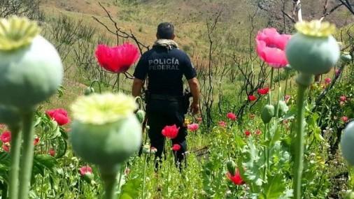 Legisladores Mexicanos planean legalizar producción de opio