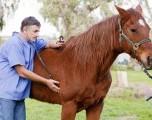 Alertan a propietarios de caballos a Vacunar contra el virus del Nilo Occidental