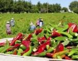 Crece dependencia de trabajadores rurales migrantes en EEUU